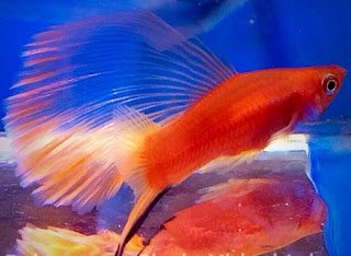 Gambar Ikan Platy Sailfin Swordtail