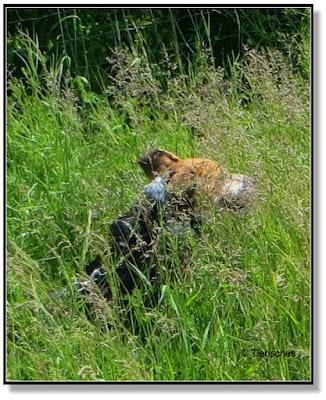 wenn Hund durchs hohe Gras rennt