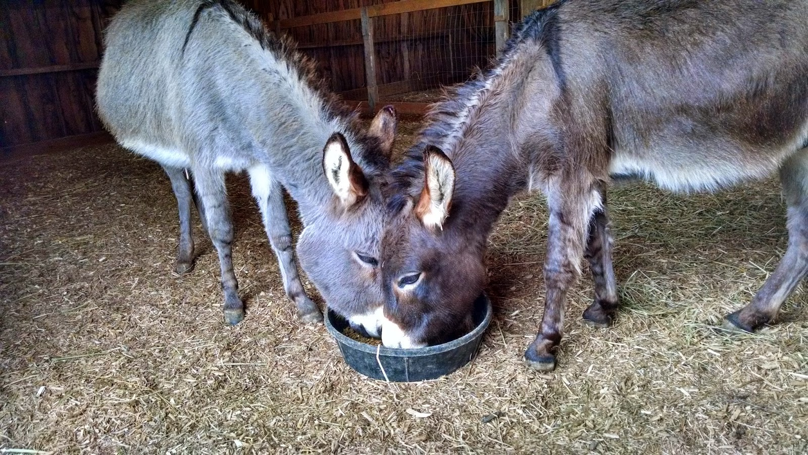 two miniature donkeys eating from a food tray