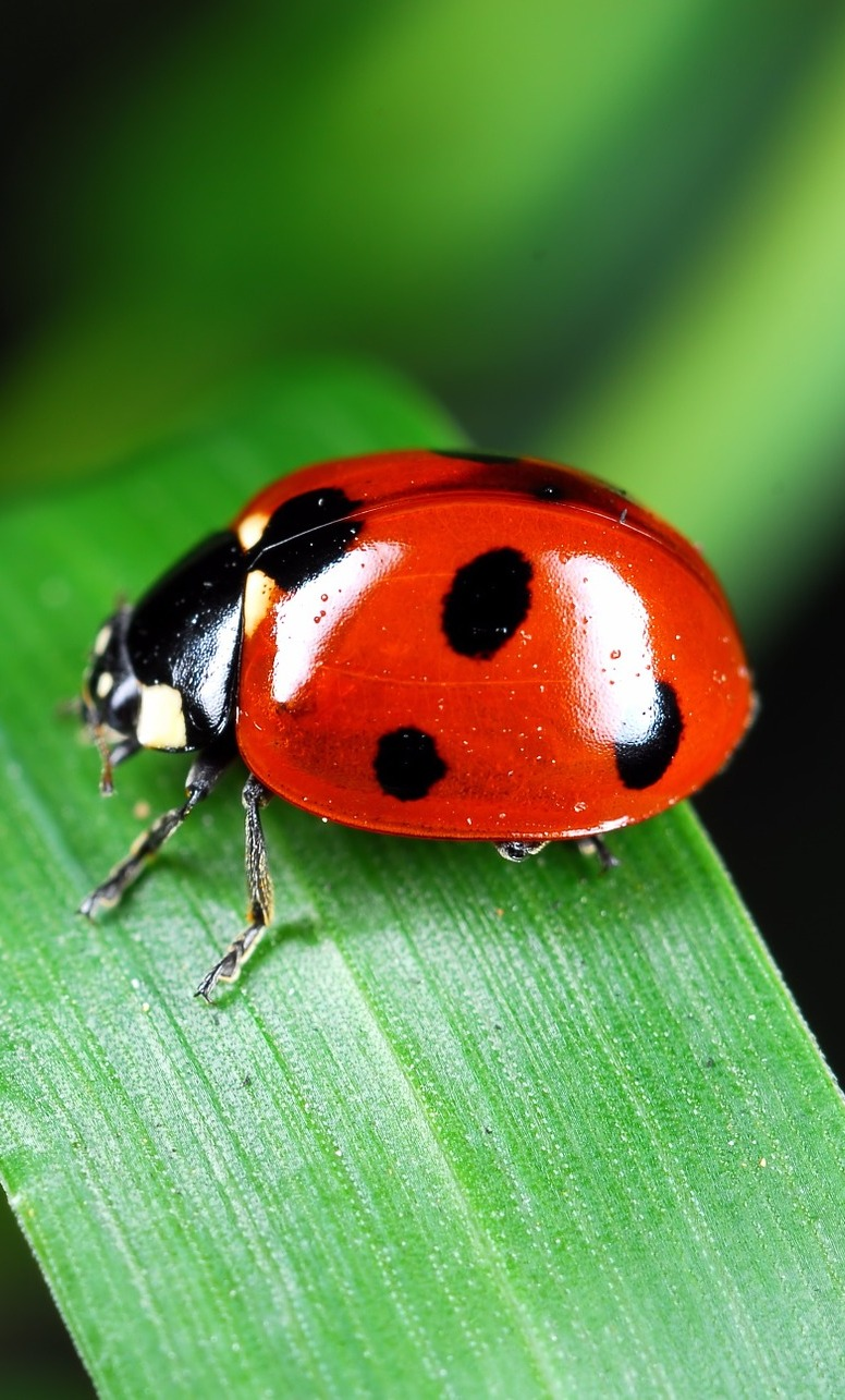 Picture of a red ladybug on a leaf.