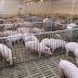 Tips and Guide On How to Start a Piggery Business In The Philippines?
