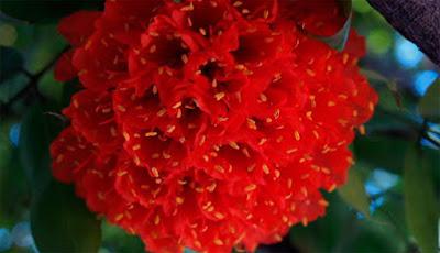 ROSA DA MONTANHA (Brownea ariza), é da região Norte da Amazônia, na floresta equatorial.