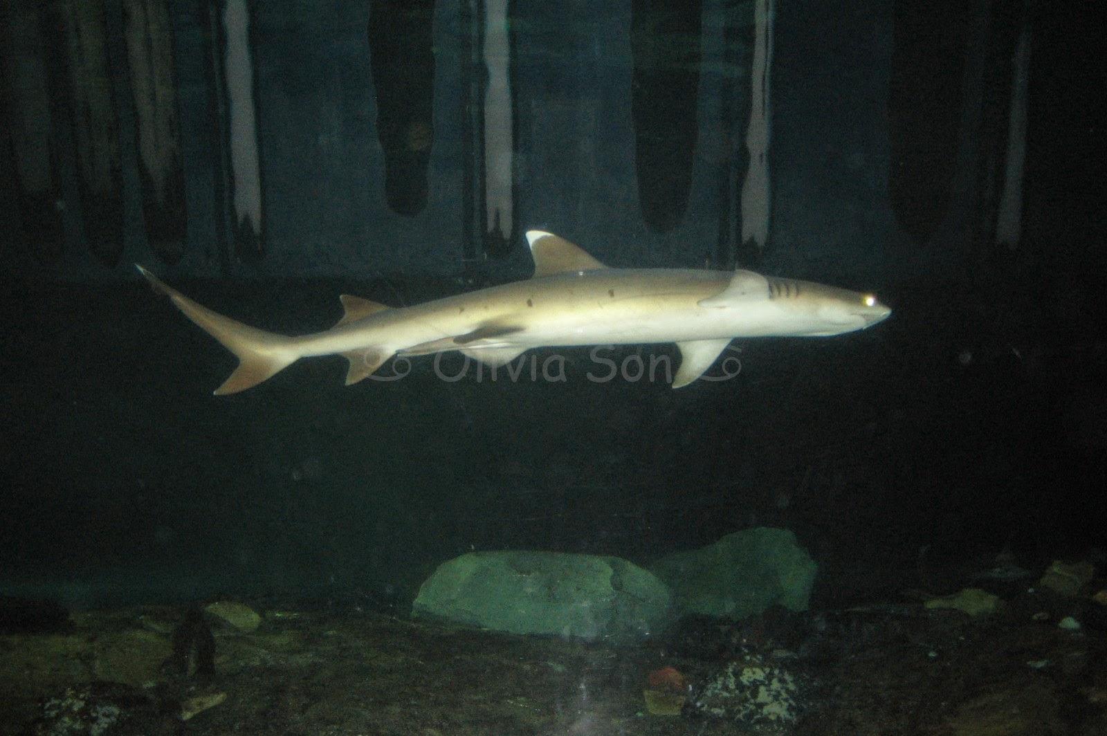 Requin, Sydney Aquarium, Sydney, Australie