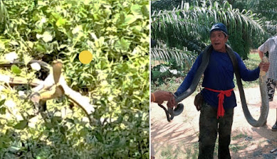 Ular king kobra kawin di kebun sawit