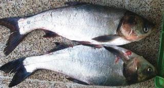 سمك مبروكه