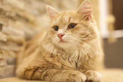 Kucing Tiffany