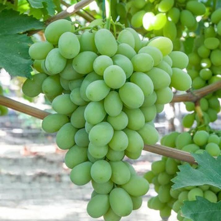 Bibit Anggur Import Sugar Crispy Kepulauan Riau