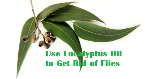 Use Eucalyptus Oil to Get Rid of Flies