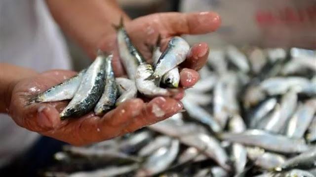Sardalya balığı nasıl bir balıktır? lezzetli mi? mevsimi ne zaman? sardalya nasıl pişirilir? ızgara mı tava mı daha iyi olur? faydaları özellikleri nelerdir?
