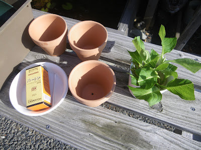 挿し木 鉢