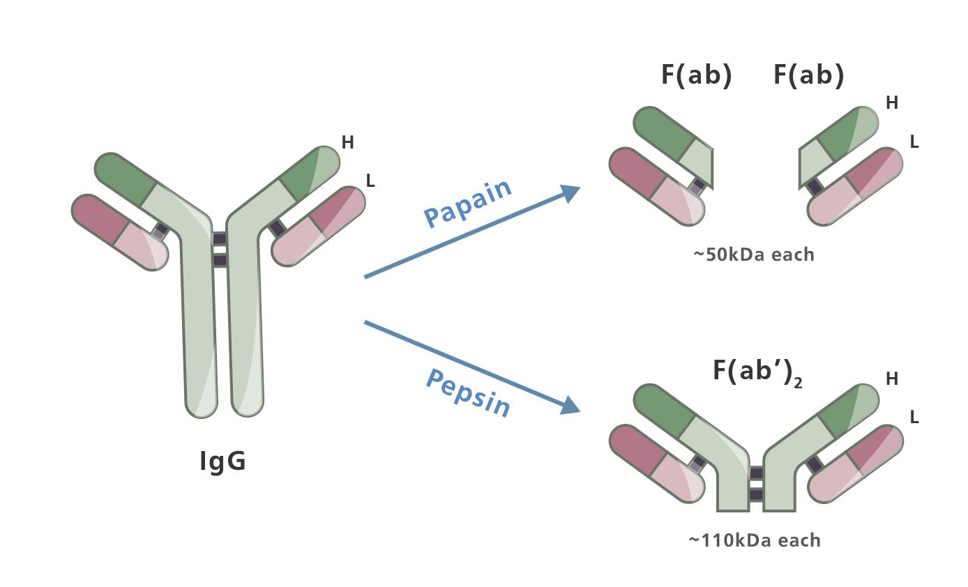 二級抗體選擇指南 - 二抗選得好 實驗難不倒