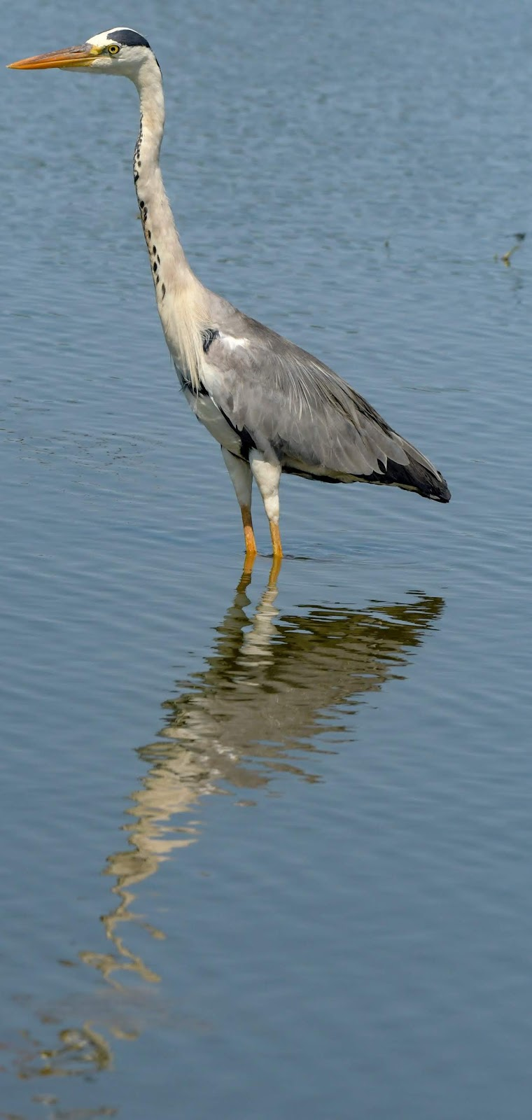 Photo of a heron.