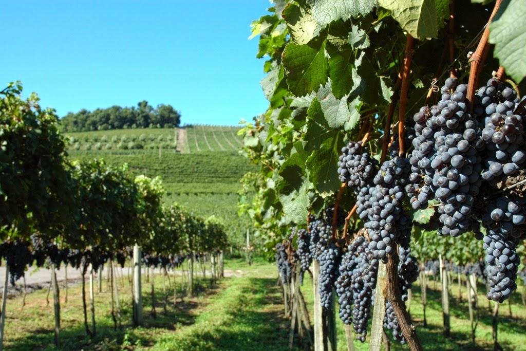 Vinho – História da Vitivinicultura Brasileira e Mundial