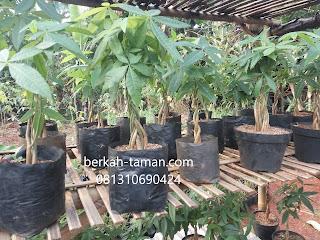 jual pohon pachira kepang murah