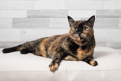 teori Warna tortie pada kucing jantan