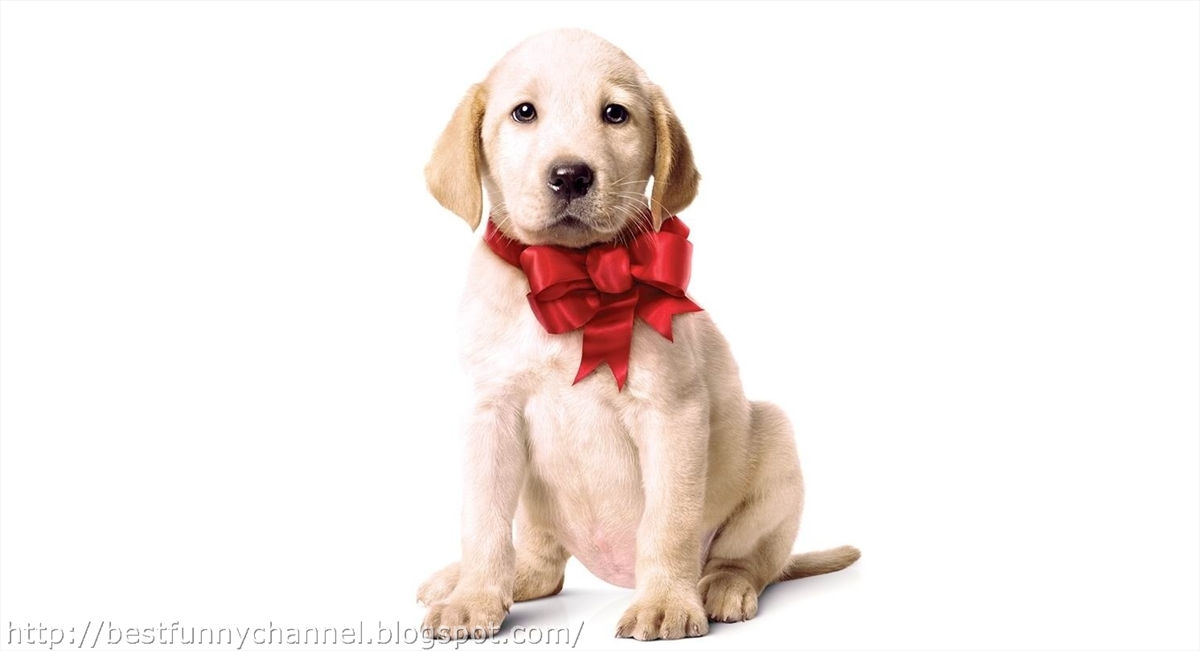 Cute Labrador Puppy Wallpaper Cute And Funny Pictures Of Animals Christmas 7