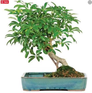 Schefflera Arboricola (Indoor)