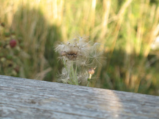 A dandelion surrounded by grass blowing in the wind