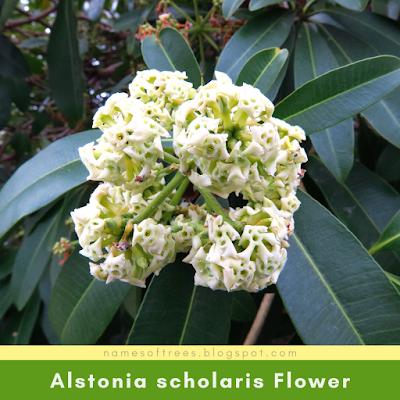 Alstonia scholaris Flower