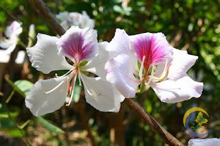 ข้อมูล ต้นเสี้ยวดอกขาว ลักษณะ/สรรพคุณ, วิธีปลูก, ดูแล, ประโยชน์