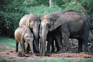 Gajah Sumatra biasanya hidup berkelompok