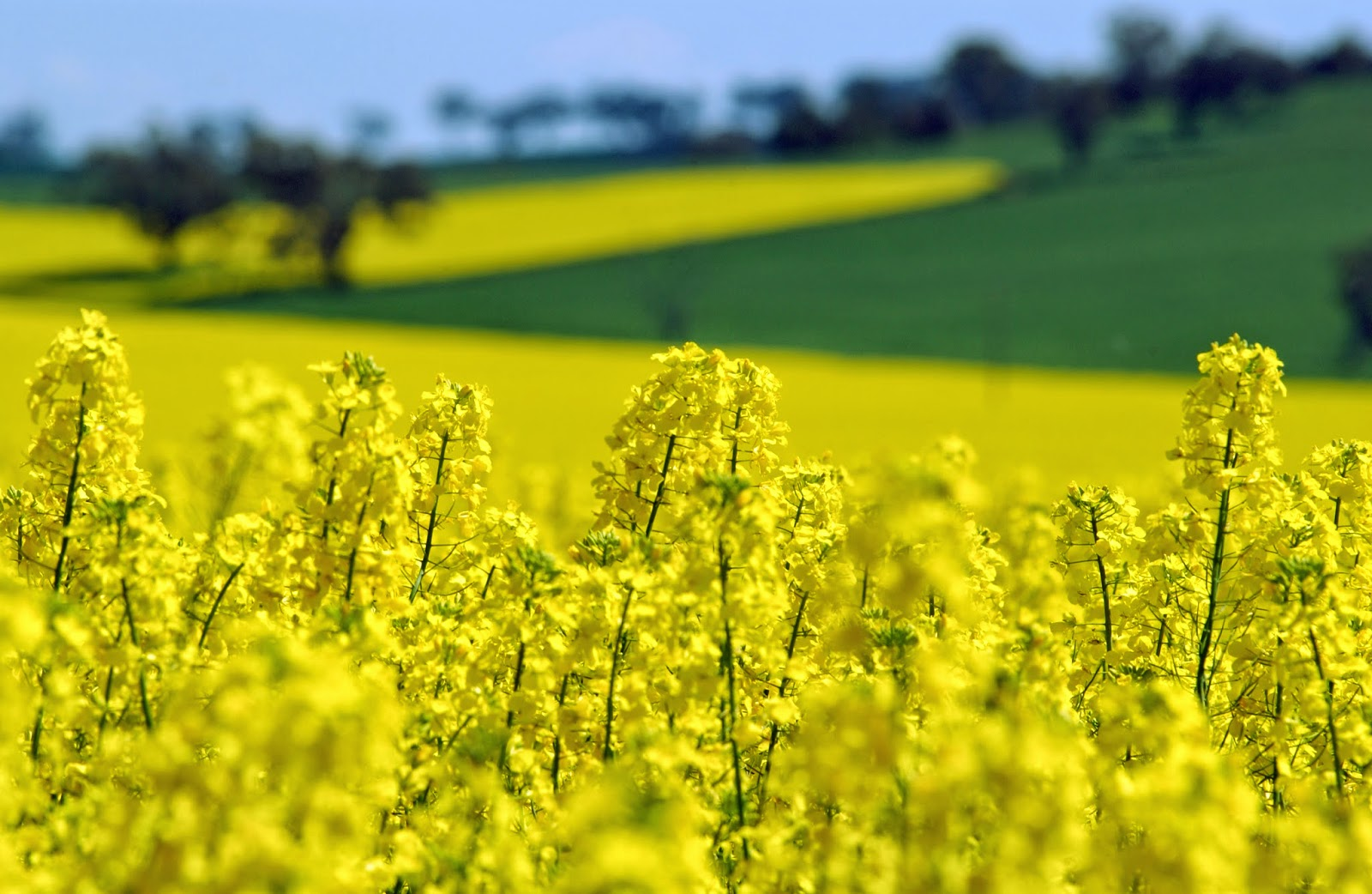 http://www.scienceimage.csiro.au/image/3978/canola-crop-with-wheat-crop-in-background/