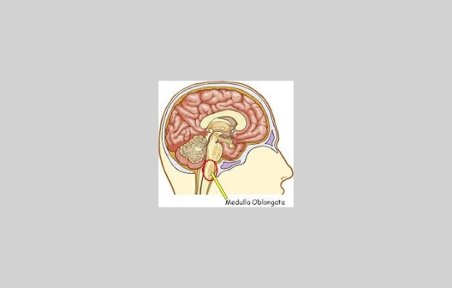 Pengertian Medula Oblongata, Fungsi Medula Oblongata, Struktur Medula Oblongata