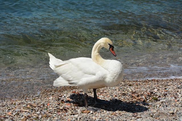 Lecco swan