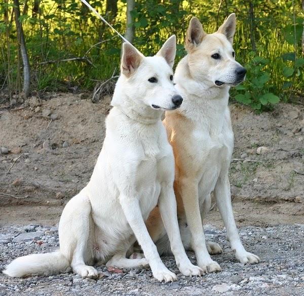 الكلب الكنعاني