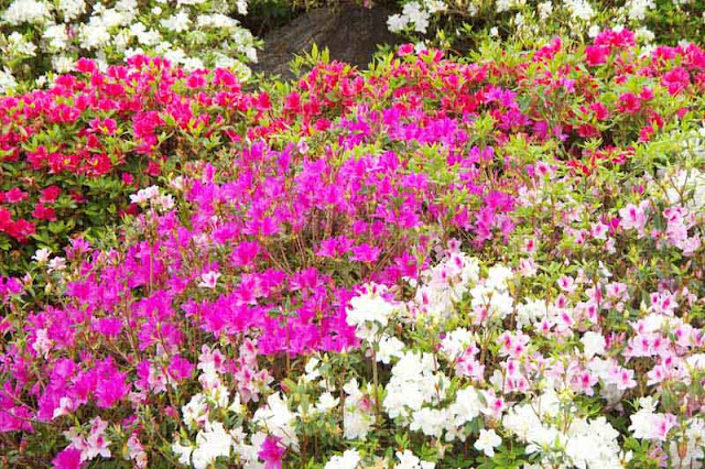 flowers, azalea, pink,red, white,violet