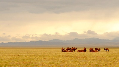 Góbi tevék Mongólia