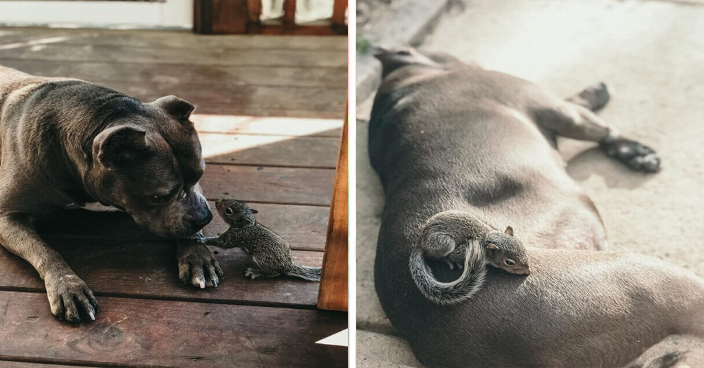 This baby squirrel claims the motherly bull is her king