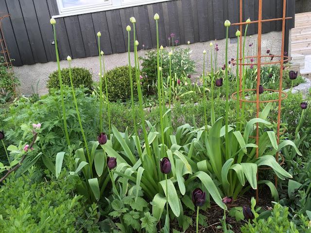 Endelig kom blomsterløkene i jorda. Svarte tulipaner mot hvit Allium er uslåelig. Furulunden.