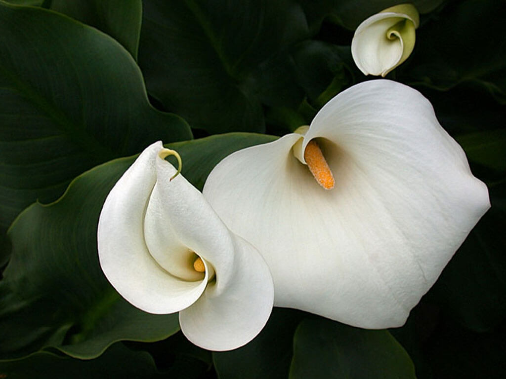How To Grow Peace Lily In Pakistan Anonymous Enthusiast