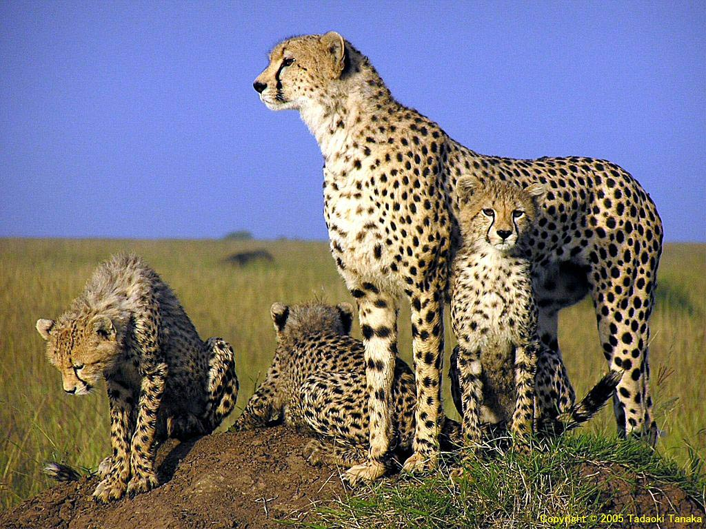 Wildlife of the World: Cheetah Wallpapers Desktop 2012