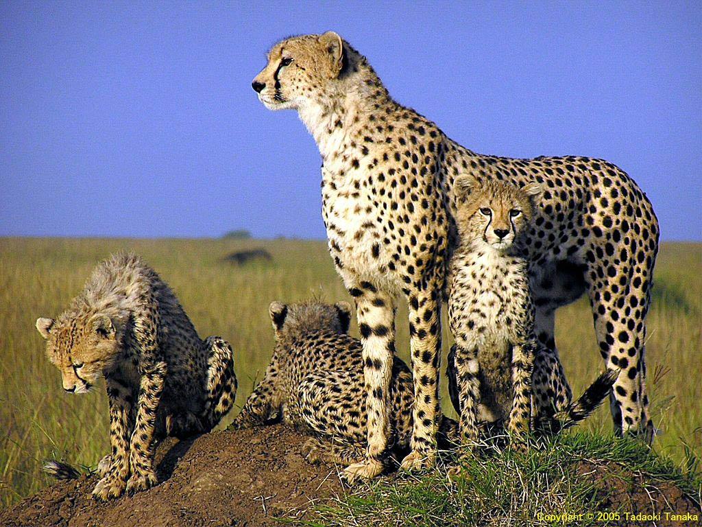Wildlife of the World: Cheetah Wallpapers Desktop 2012