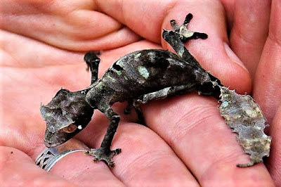 gecko cola de hoja satanico