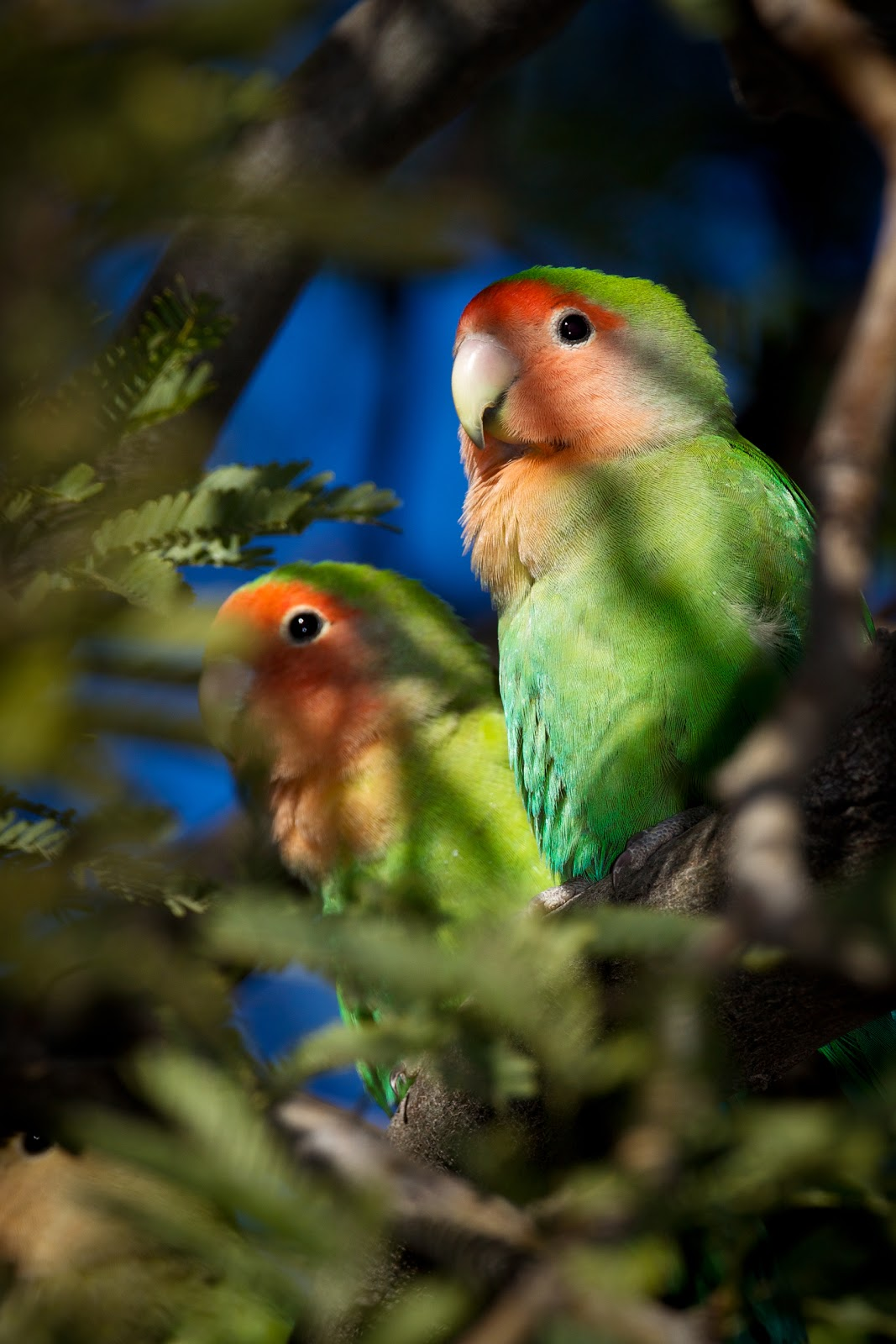 Feather Tailed Stories Peach Faced Lovebirds