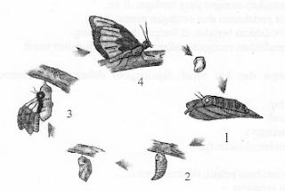 contoh soal hots ipa sd tentang siklus hidup hewan kupu kupu