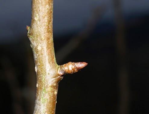 Yema de madera o de crecimiento