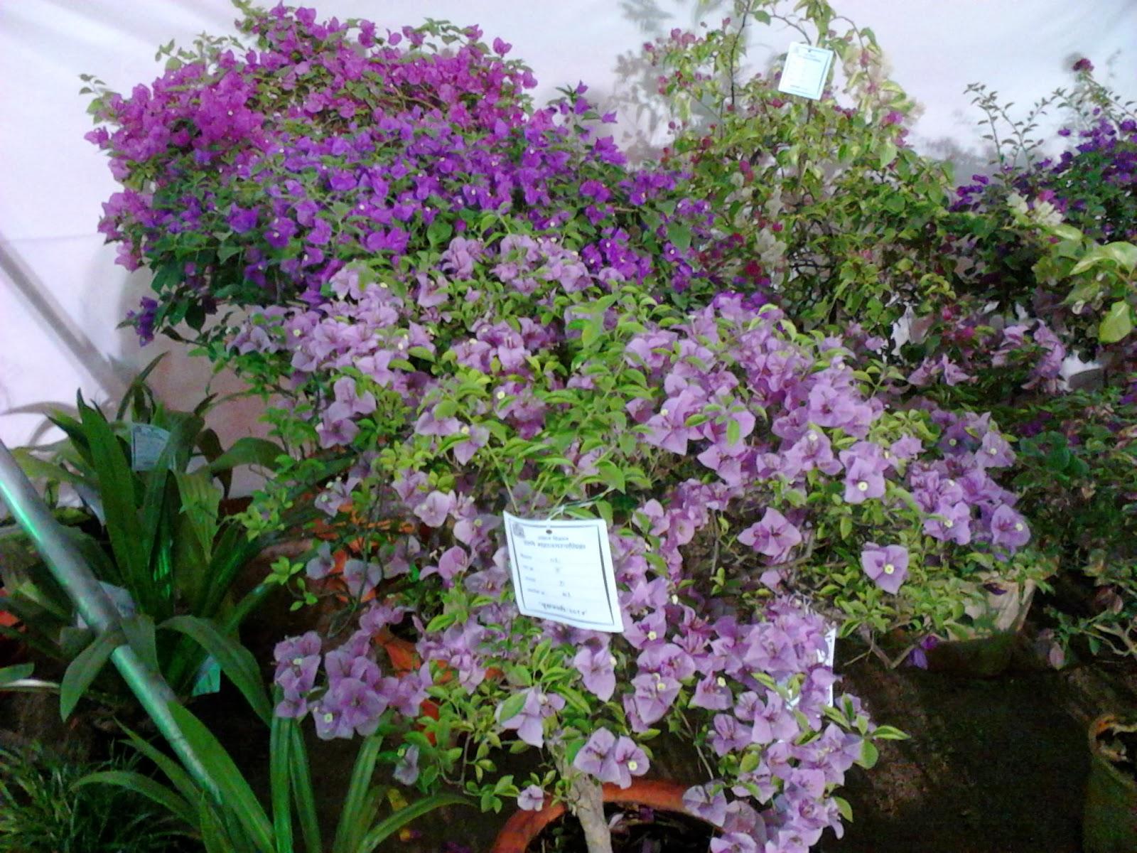 Garden Care Simplified: Bougainvellias around the globe names ...