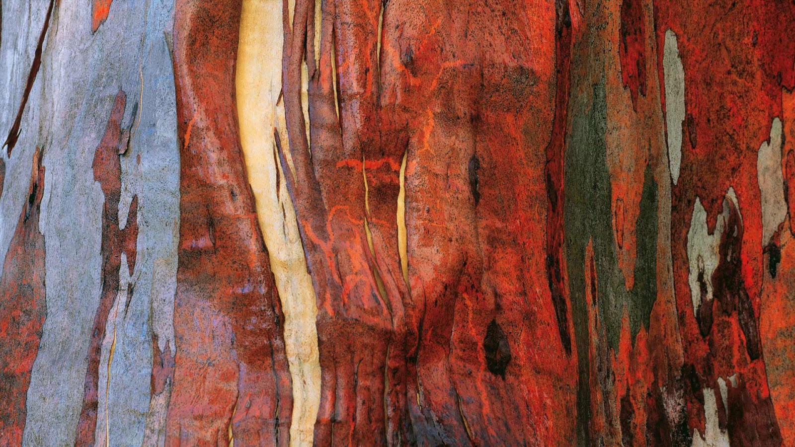 Alpine eucalypt bark in Tasmania, Australia © Australian Scenics/Getty Images