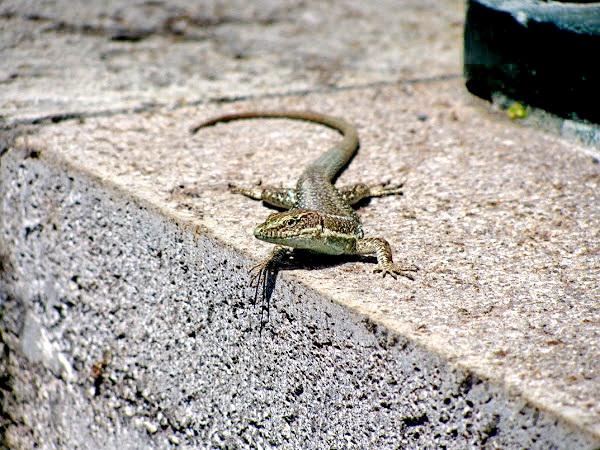 lizard Madeira, a docile animal