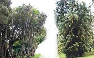 Gambar Pohon nibung Riau