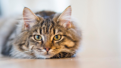 long-haired tabby cat lying on the floor