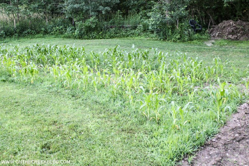 Corn in the garden | On The Creek Blog