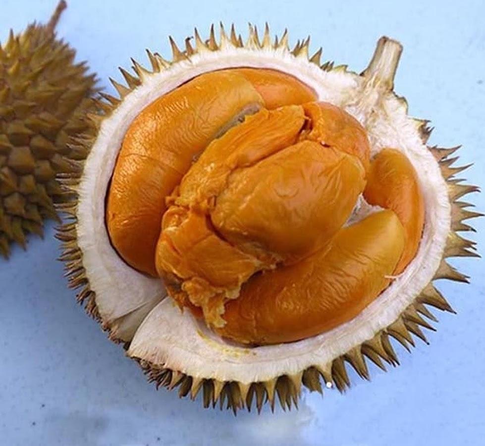 Bibit Tanaman Durian Buah Durian Duri Hitam Ochee Jawa Barat