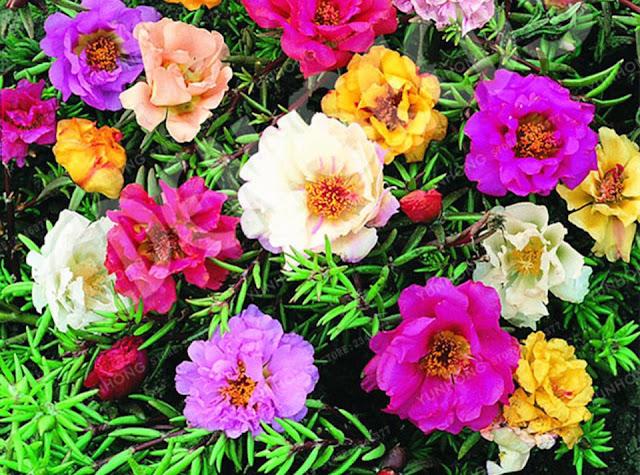 معاني الورود بألوانها