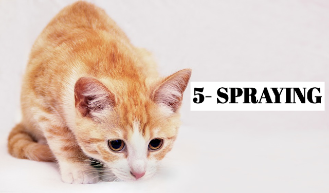 Like scratching, spraying urine is a way for cats to mark territory. Normally, cats feel secure enough in their home not to display this behavior. However, at times of increased stress—the arrival of a new kitten, for example—a cat (usually male) might spray around the house. Prevent spraying by learning the telltale signs. If your cat still sprays, clean up the affected area with disinfectant to remove the odor. *ABOUT TO SPRAY Backing up against the chair, this cat is about to spray: its hind legs are on tiptoes, and its tail is raised and quivering.