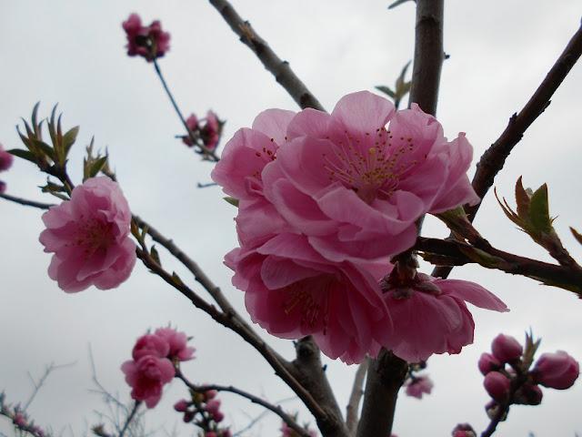 川沿の並木に咲くピンクの花3